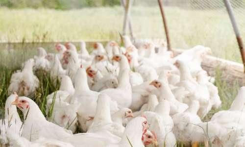 Alerte grippe aviaire | Démarches officielles & conseils pour protéger ses volailles